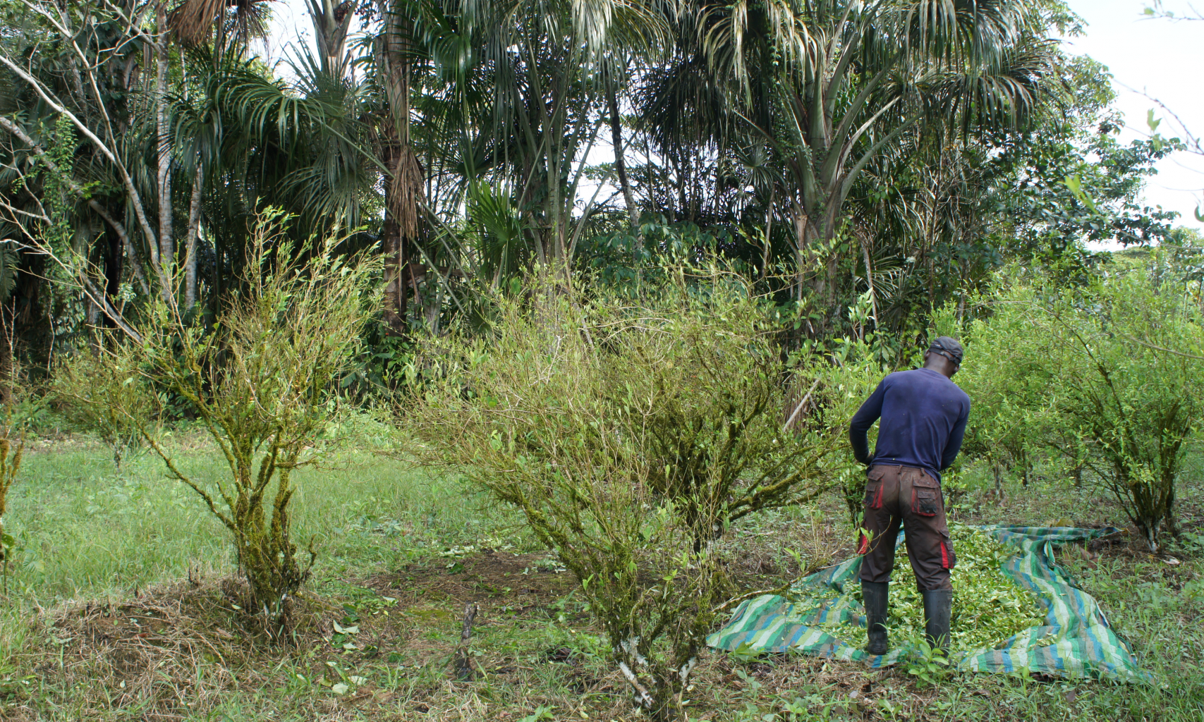Coca harvest in Puerto Asis, Colombia. Photo by Frances Thomson.